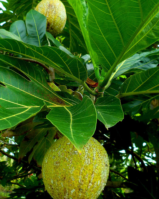 a-tropical-taste-of-hawaii-ulu-breadfruit