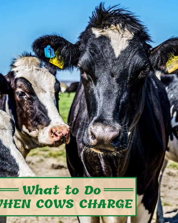 how-to-scare-cows-to-avoid-being-trampled-to-death