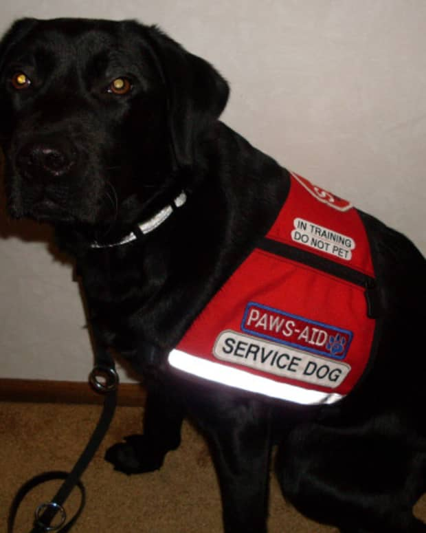 River, a service dog in-training