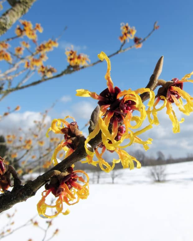 what-is-witch-hazel-and-what-are-its-uses