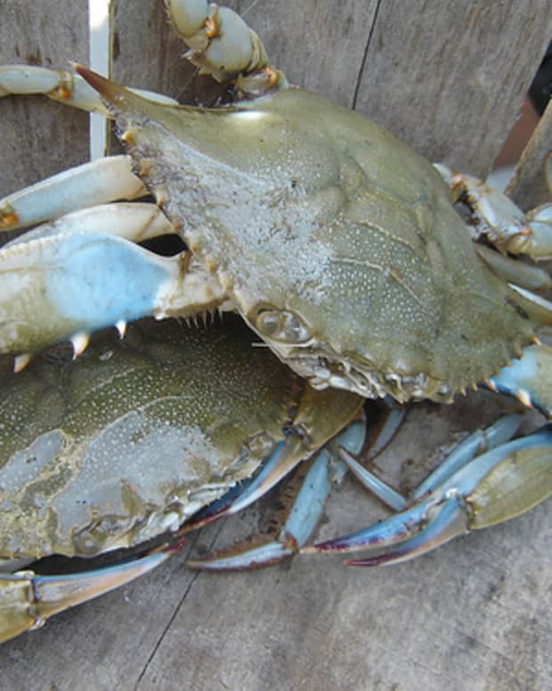 why-throw-back-blue-female-crabs