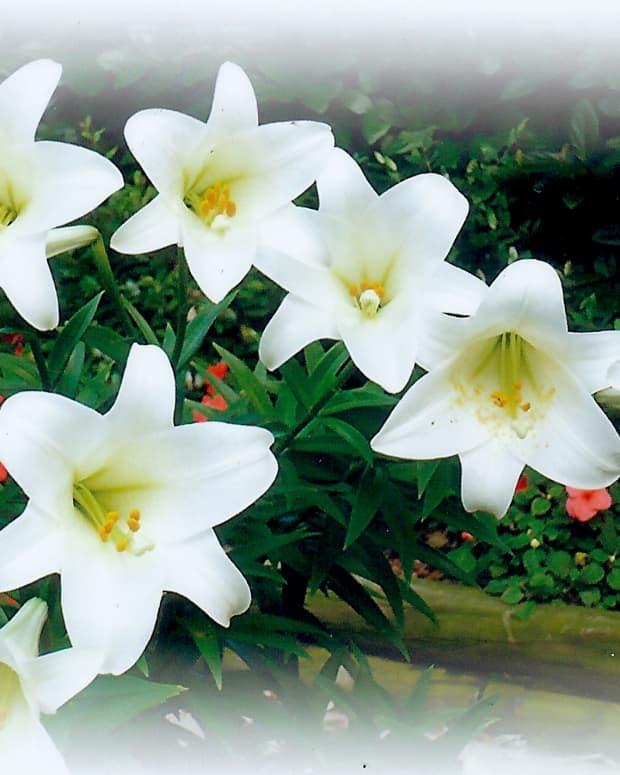 Our Easter Lilies in bloom with colorful impatiens in the background.