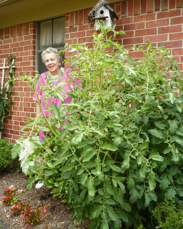 My mother standing next to the gargantuan tomato plant