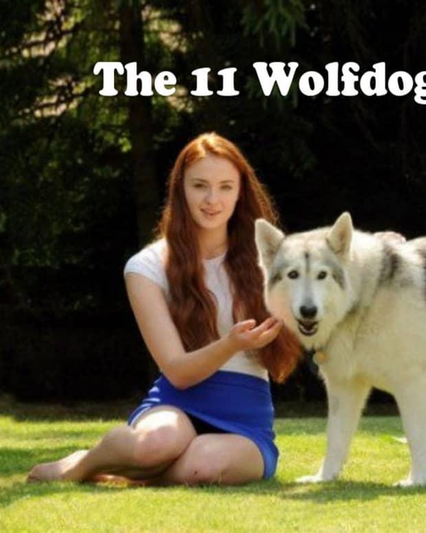 11-best-wolf-dog-breeds