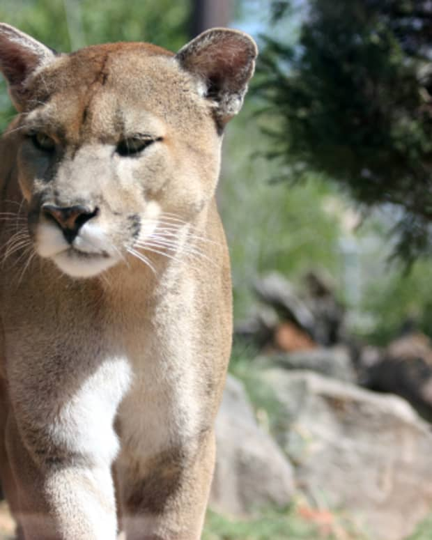 the-florida-panther-facts-and-conservation-efforts