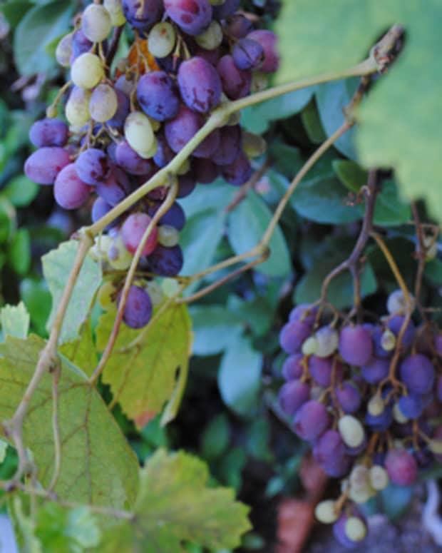 process-for-making-grape-vinegar