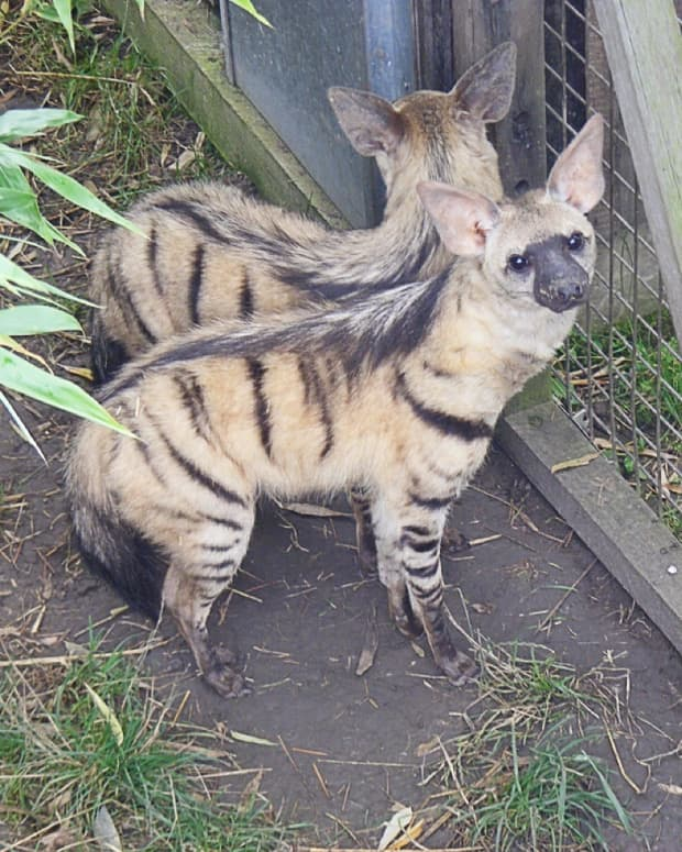 the-aardwolf-a-hyena-relative-that-feeds-on-termites