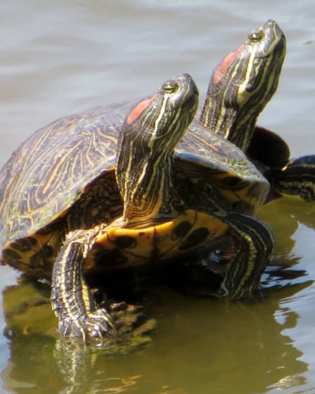 red-eared-slider-turtles-photos-videos-and-information
