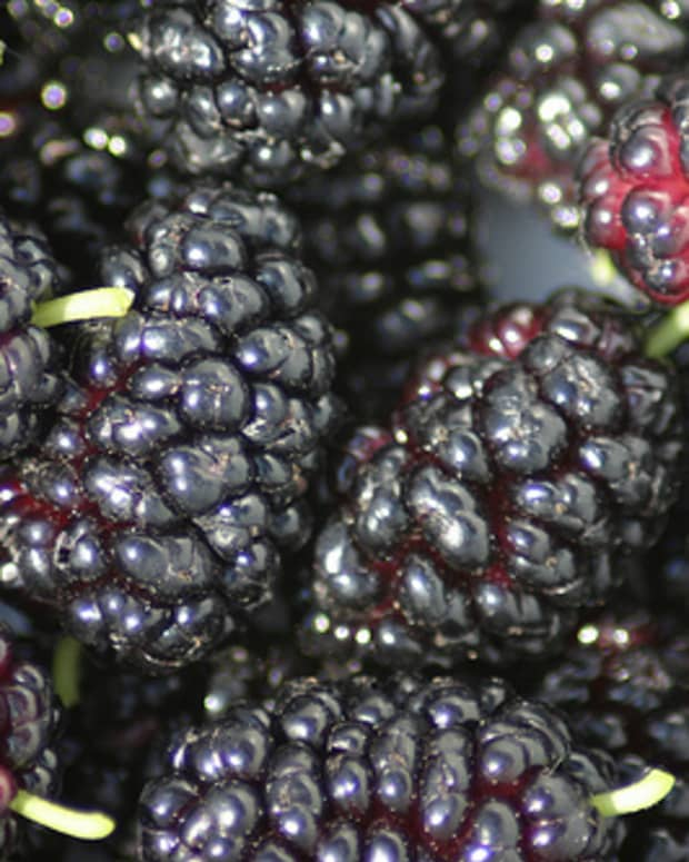 how-to-grow-mulberries