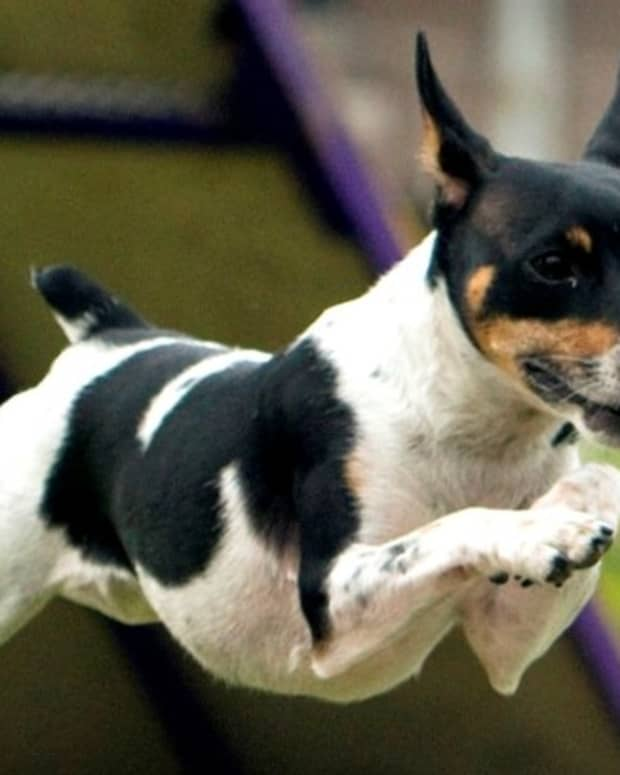 the-10-low-maintenance-small-dog-breeds