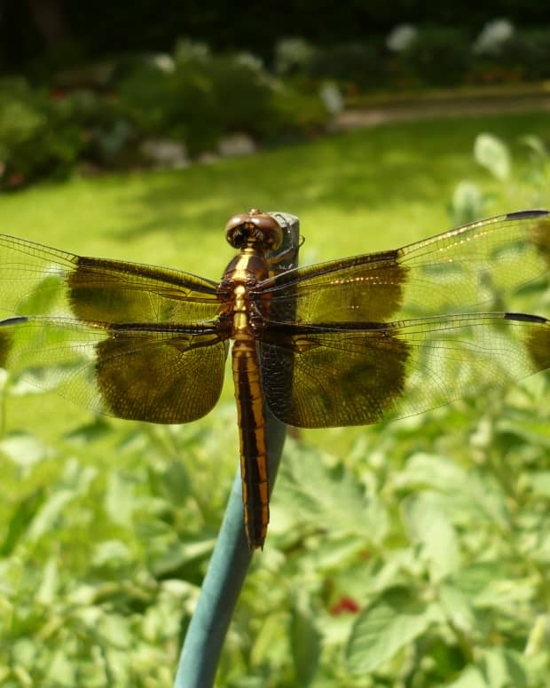 the-dragonfly-that-came-to-visit-our-garden-one-day