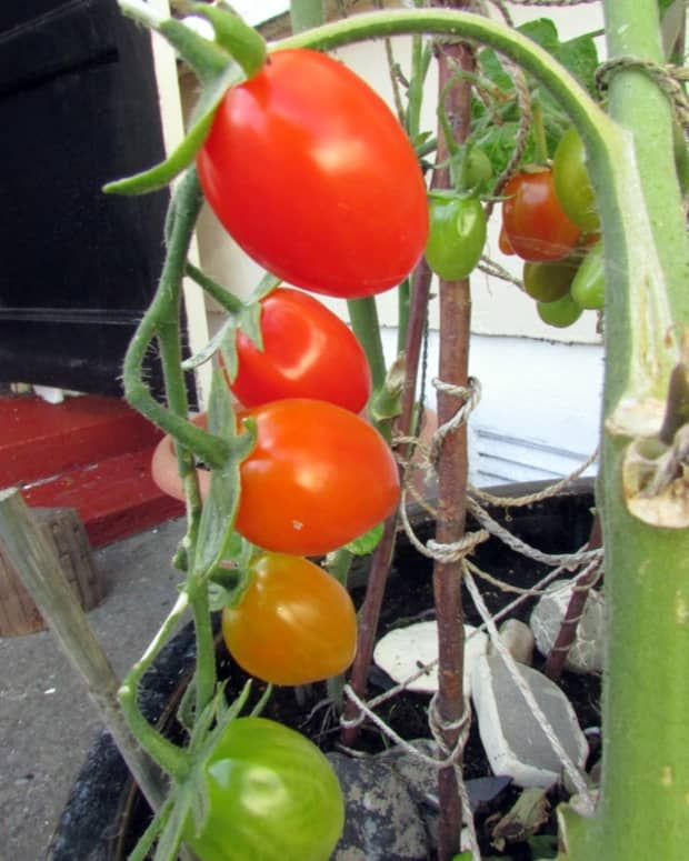 how-to-grow-baby-plum-tomato-plants-from-seeds-in-containers-in-the-garden-best-way-to-water-take-care-of-tomatoes