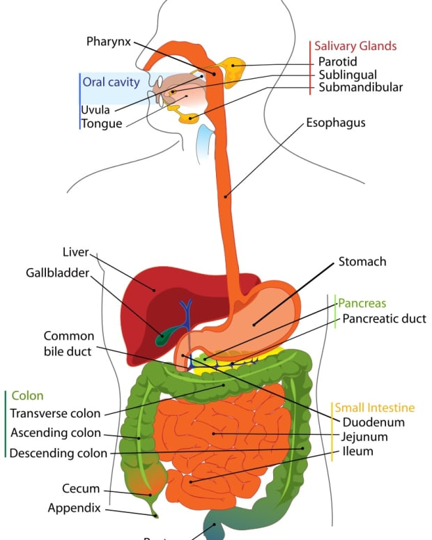 the-human-digestive-system-and-digestive-diseases