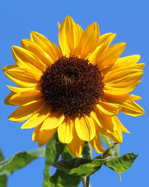 sunflowers-large-seeds-big-flowers
