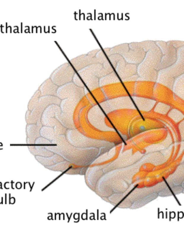 the-human-limbic-system-the-emotional-seat-of-behavior