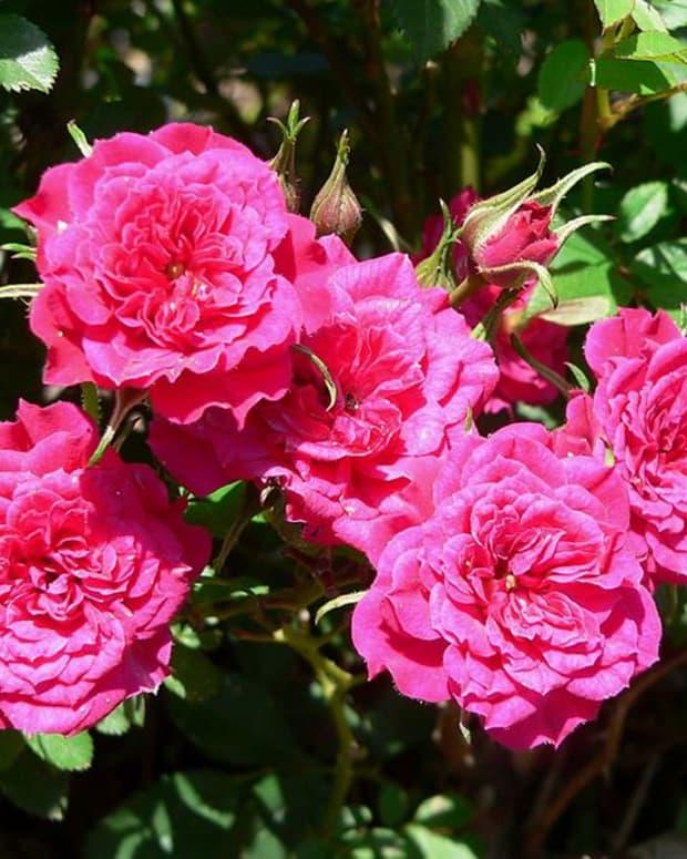 how-to-grow-a-miniature-rose-bush-outdoors