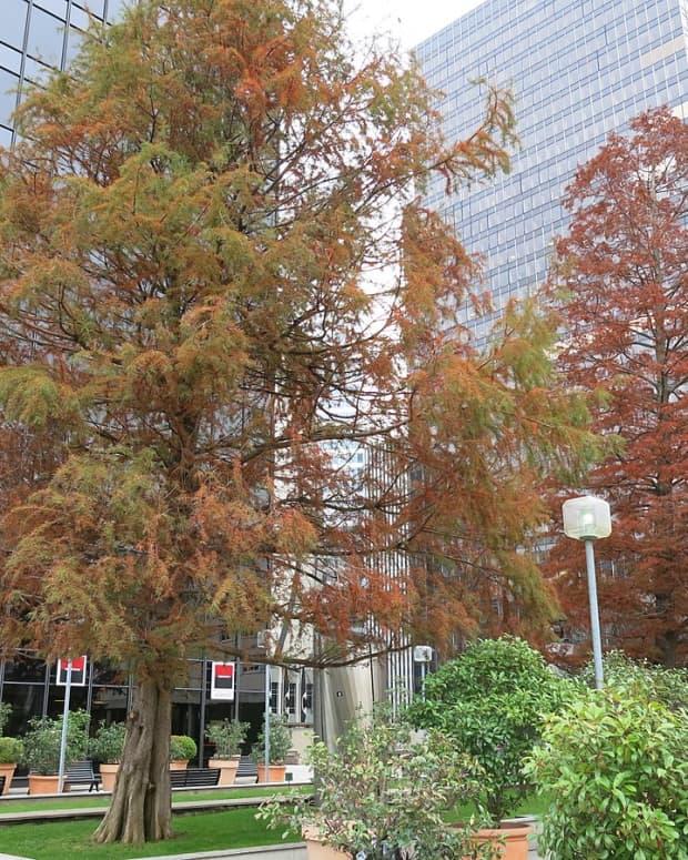 bald-cypress-is-state-tree-of-louisiana