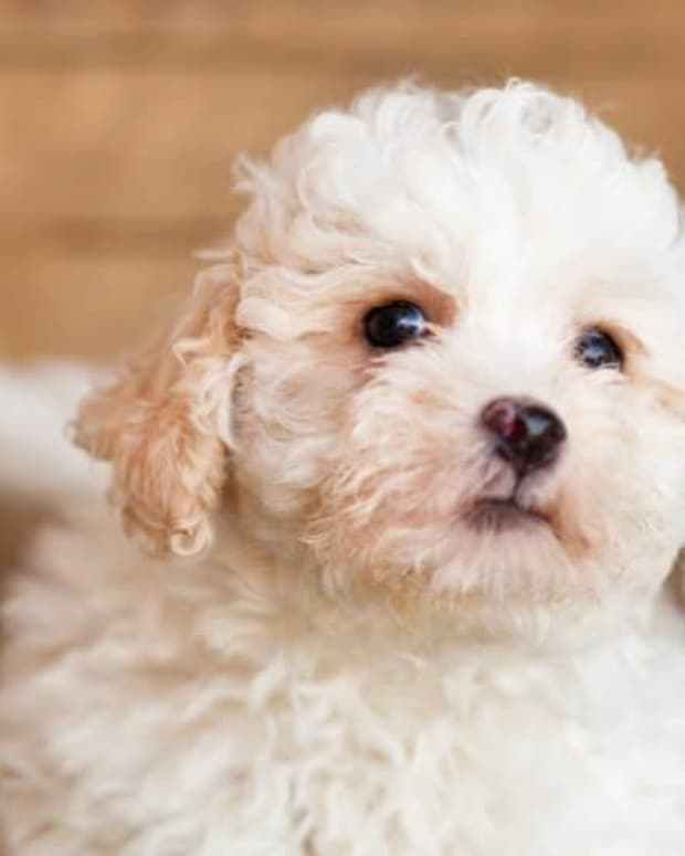the-10-most-popular-poodle-mixed-breed-dogs