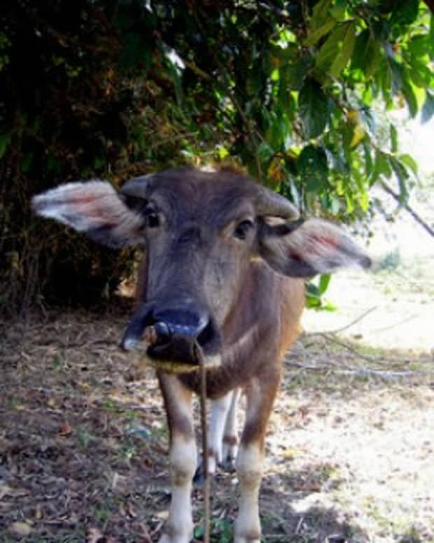 traditional-filipino-folk-tale-the-miraculous-cow