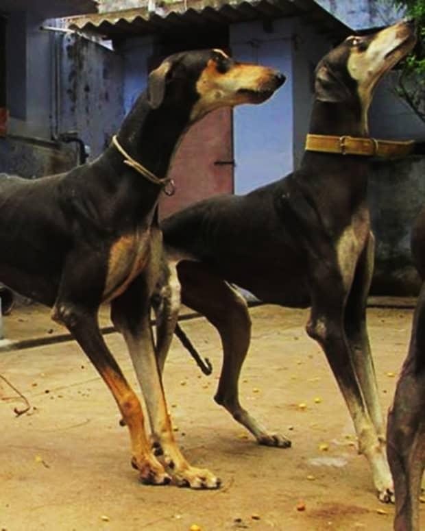 11-dogs-that-look-like-doberman