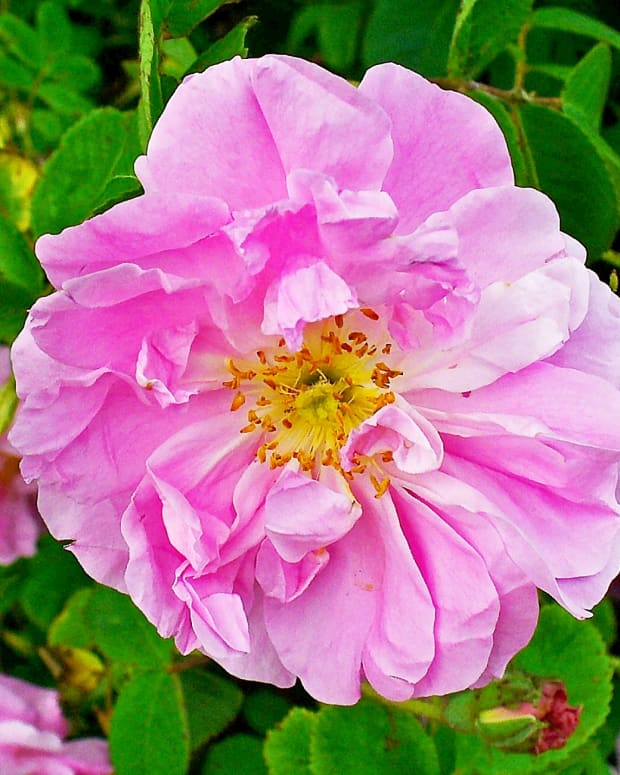 rose-petals-oil-and-water-fragrant-and-useful