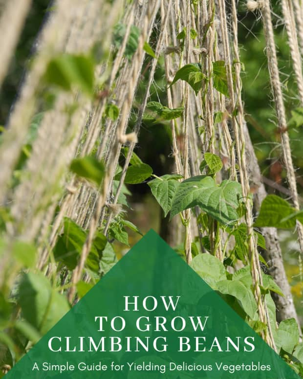 how-to-grow-climbing-beans