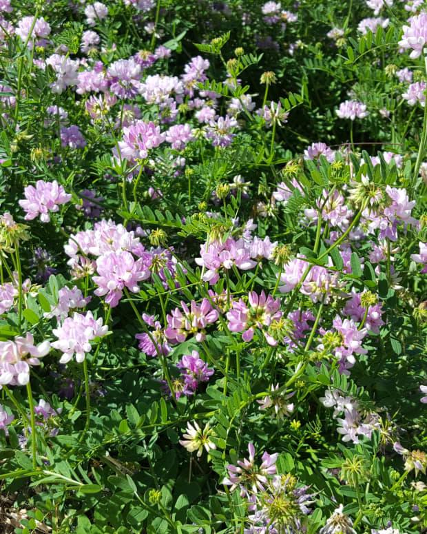 wild-flowers-crown-vetch