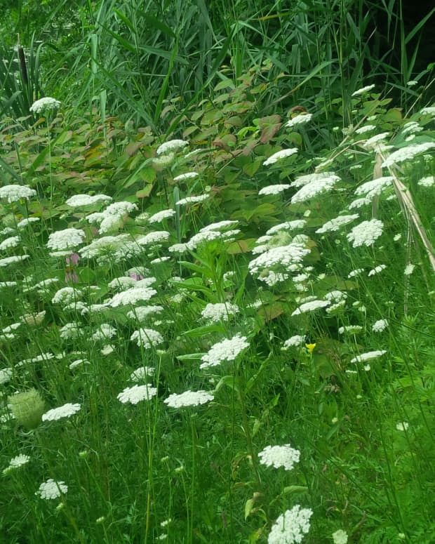 wild-flowers-queen-annes-lace