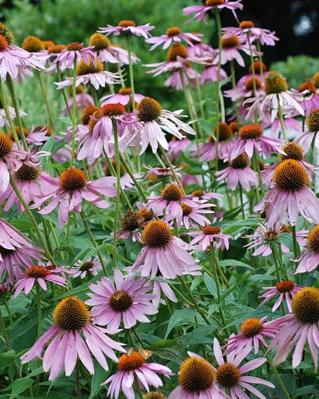 how-to-grow-purple-coneflower-echinacea-a-native-plant