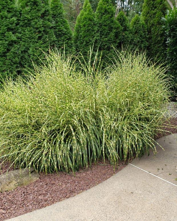 how-to-grow-zebra-grass-an-ornamental-grass