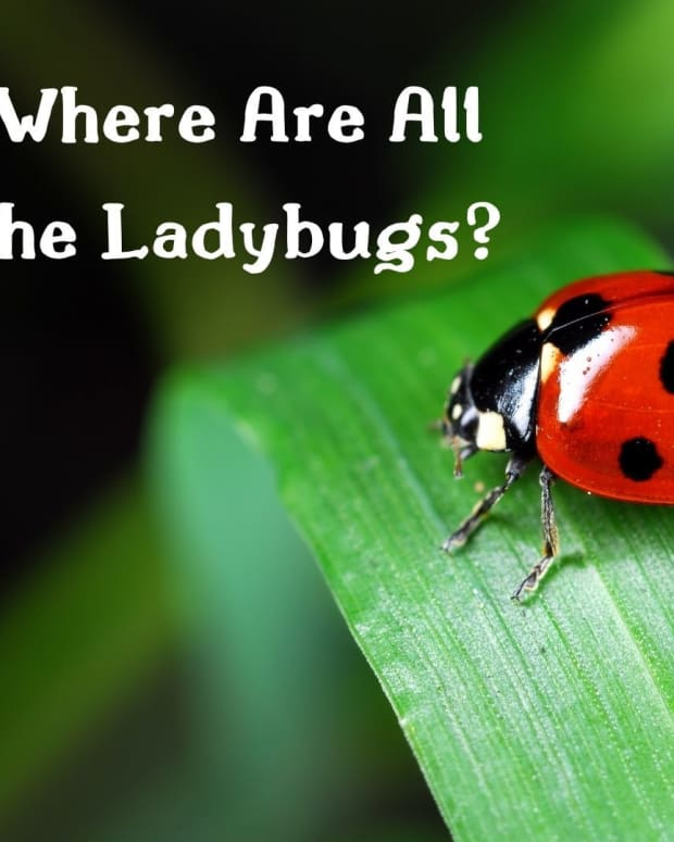 where-have-all-the-ladybugs-gone