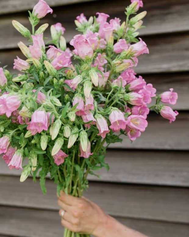 how-to-grow-canterbury-bells-a-cottage-garden-favorite