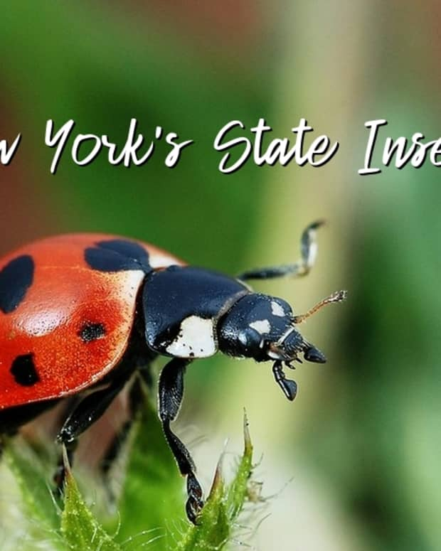 -state-insect-of-new-york
