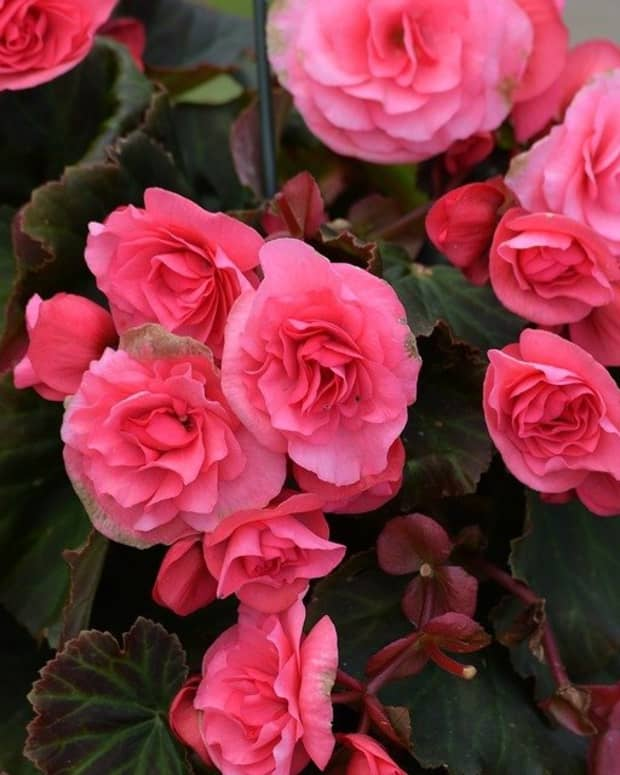 how-to-grow-shade-loving-tuberous-begonias