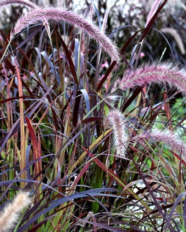 how-to-grow-purple-fountain-grass-an-ornamental-grass