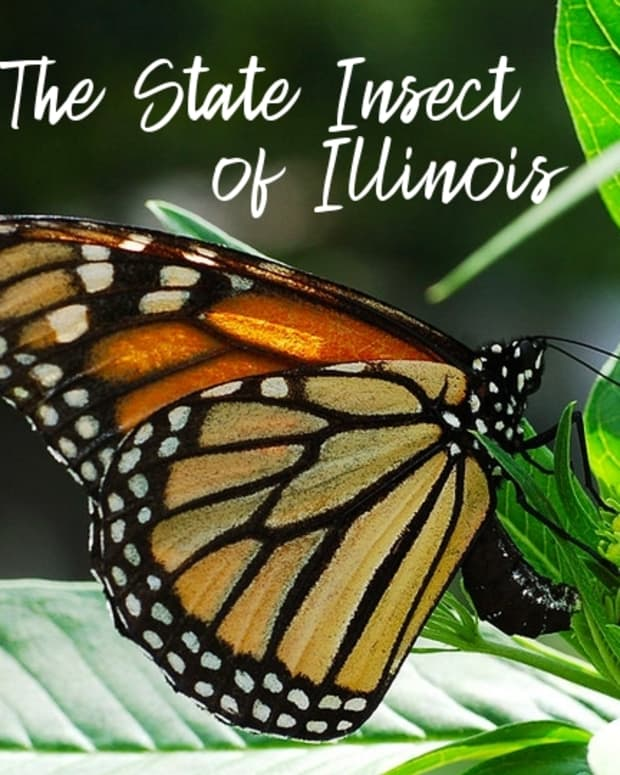 state-insect-of-illinois