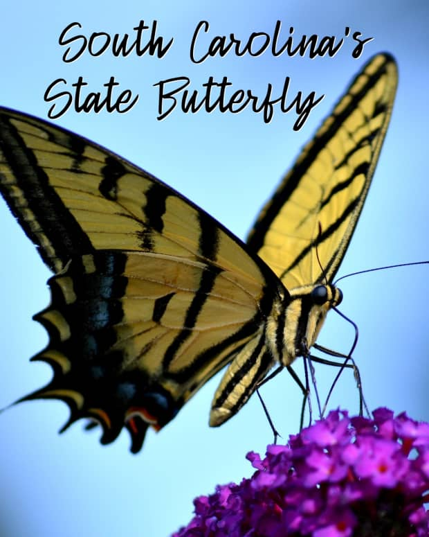 """the-state-butterfly-of-south-carolina-the-tiger-swallowtail"""">                 </picture>                 <div class="""