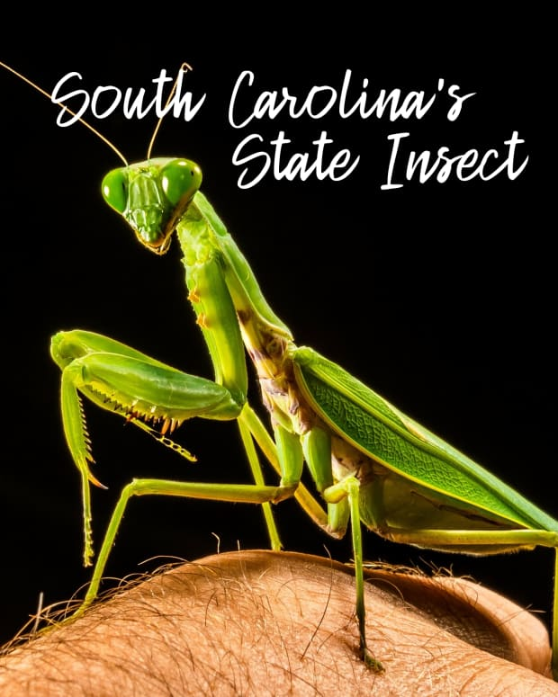 state-insect-of-south-carolina