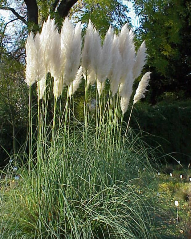 how-to-grow-pampas-grass-an-ornamental-grass