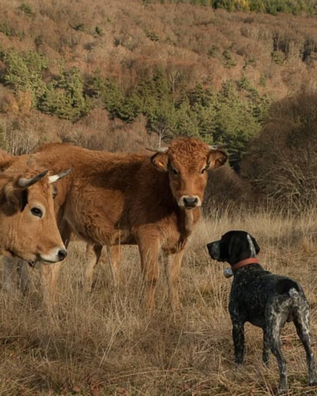 how-to-stop-a-dog-from-chasing-cows