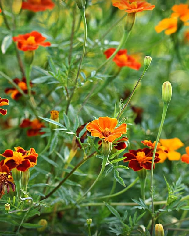 the-benefits-of-marigolds-in-the-garden