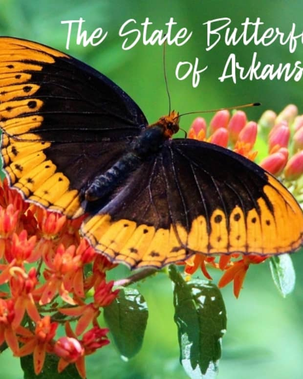 """state-butterfly-of-arkansas"""">                 </picture>                 <div class="""