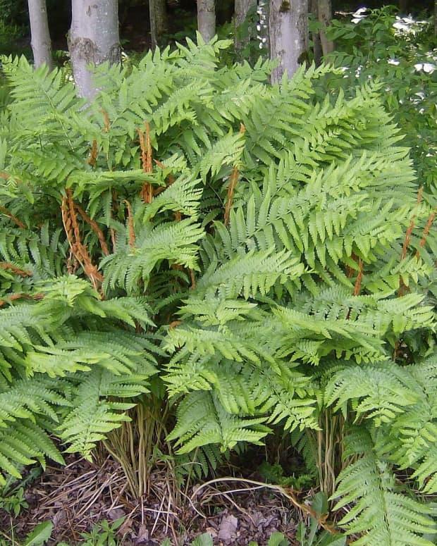 how-to-grow-cinnamon-fern-a-native-plant