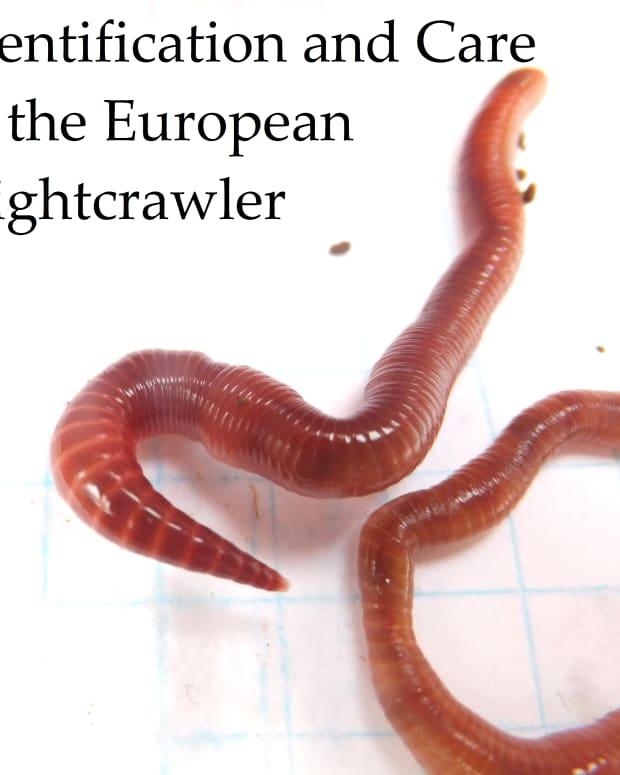 identifying-the-european-nightcrawler-composting-worm