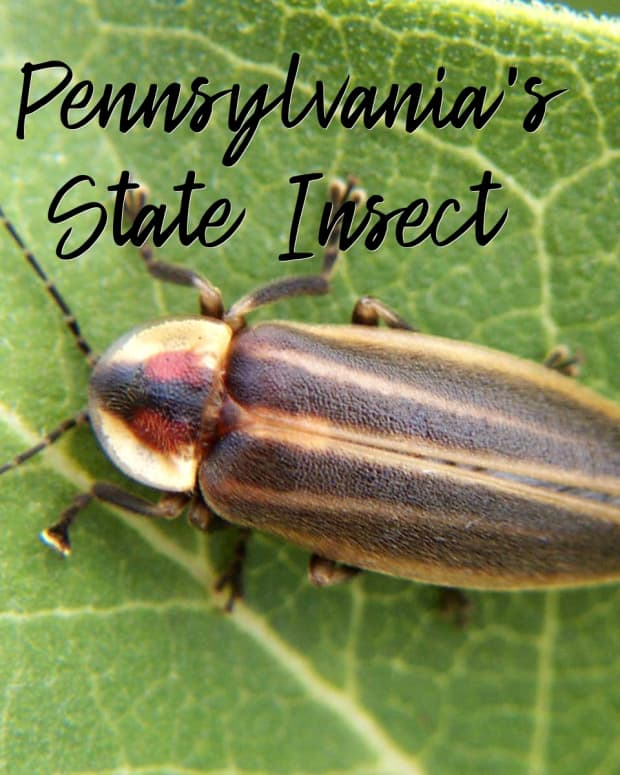 state-insect-of-pennsylvania