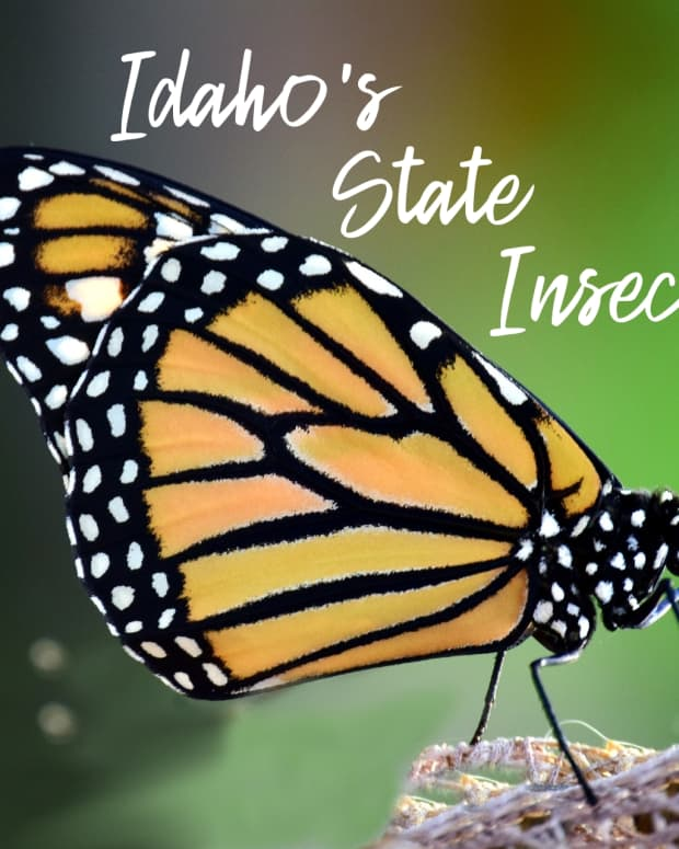 state-insect-of-idaho