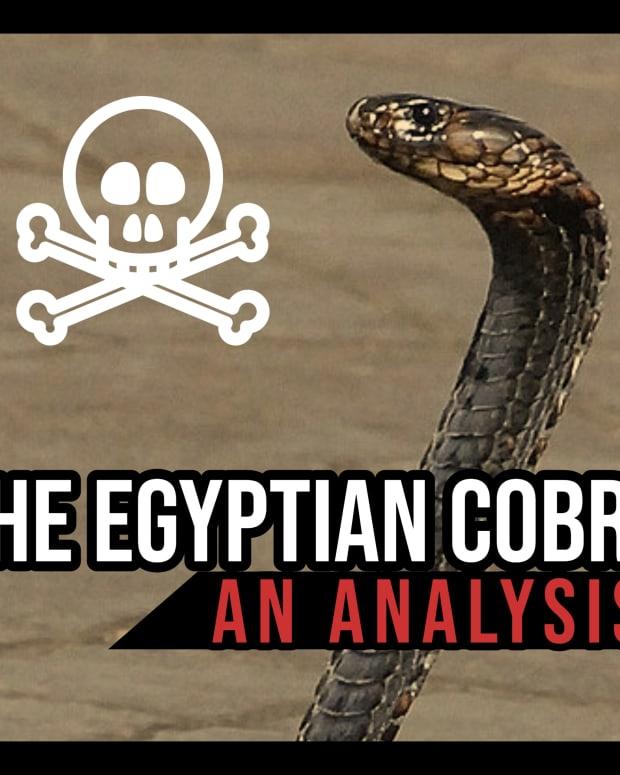 the-egyptian-cobra