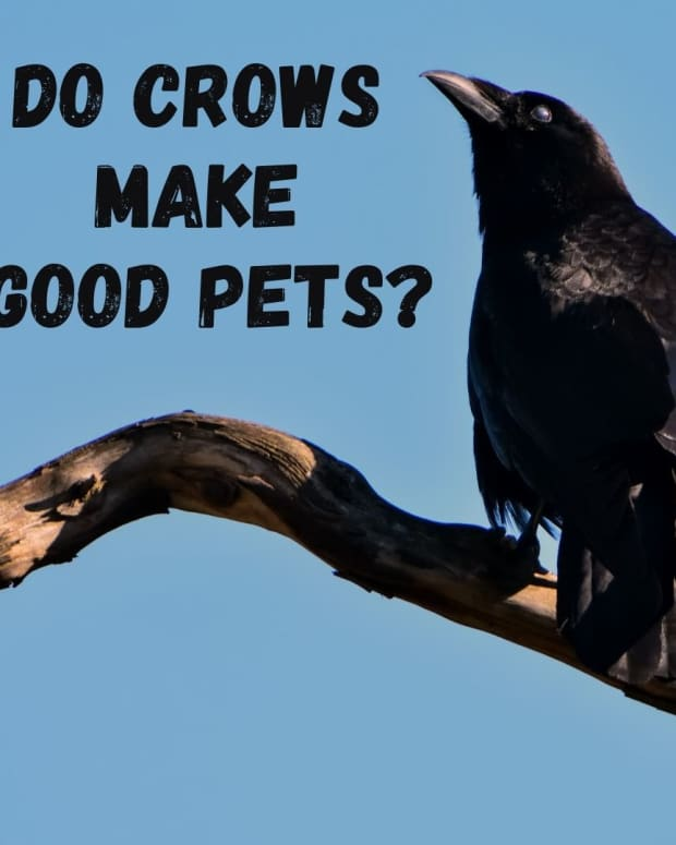 crows-as-pets-is-it-legal-to-have-a-pet-crow