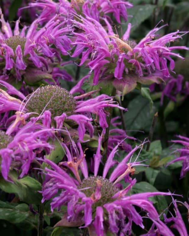 bee-balm-plant-monarda