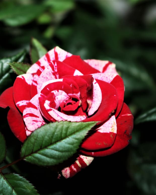 caring-for-your-miniature-rose-bush-indoors